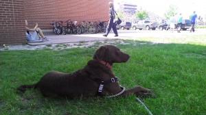 Louie sitting a safe distance from the WI State High School Track meet with lots of bikes, whistles and triggers. It is important to keep fearful dogs a safe distance from their stressor and then make it FUN with treats or toys or both!