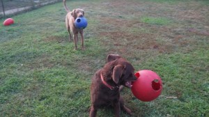 Yukon & Radar Playing Fetch