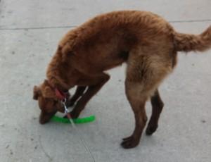 Yukon doing a leash retrieve.