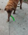 Yukon bringing his Kong Stix back to me on a leash retrieve.